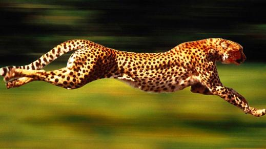 High Velocity Cheetah
